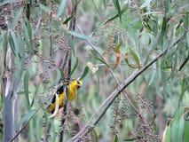 Gul fågel Royaltyfri Fotografi