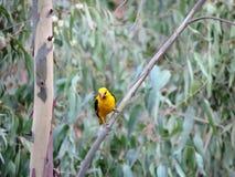 Gul fågel Royaltyfri Foto