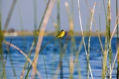 Gul fågel på ett gräs Fotografering för Bildbyråer