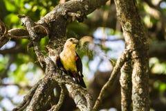 Gul fågel på ett träd Hangbird Arkivfoton