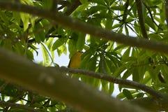 Gul fågel på filialer av ett träd i tropiskt klimat, den Caroni floden och berg på bakgrund av bilden royaltyfri fotografi