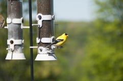 Gul fågel som omkring ser på förlagemataren Arkivfoto