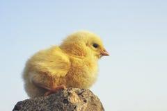 Gul fågelunge Royaltyfri Bild