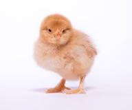 Gul fågelunge Fotografering för Bildbyråer
