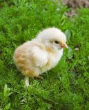 Gul fågelunge på grönt gräs Arkivfoton