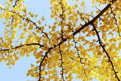 Gul filial med lövverk mot den blåa himlen, härlig höstbakgrund fotografering för bildbyråer