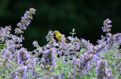 Gul fink i purpurfärgade blommor Arkivfoto