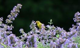 Gul fink i purpurfärgade blommor Arkivfoton