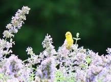 Gul fink i purpurfärgade blommor Arkivbild