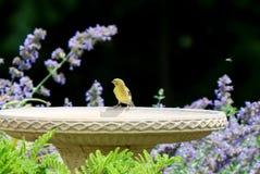 Gul fink och fågelbad Royaltyfria Foton