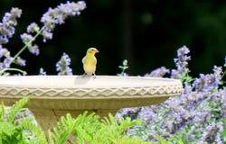 Gul fink på fågelbad Fotografering för Bildbyråer