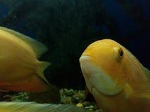 Gul fisk Royaltyfria Foton