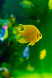 Gul fisk i akvarium arkivbild