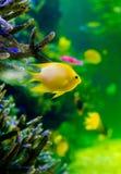 Gul fisk i akvarium arkivfoton