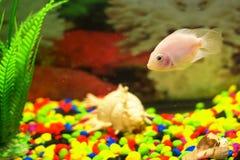Gul fisk i akvarium slapp fokus arkivbild