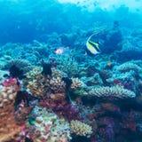 Gul fisk i tropiska Coral Reef, Maldiverna Arkivbild