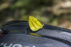 gul fjäril arkivbild