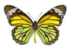 Gul fjäril arkivbilder