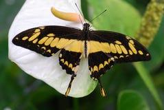 gul fjäril royaltyfri fotografi