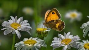 gul fjäril royaltyfri foto