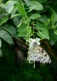 gul fjäril Arkivfoto