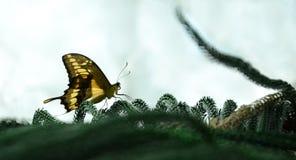 gul fjäril Royaltyfria Foton