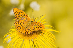 gul fjäril Arkivfoton