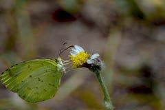 gul fjäril för gemensamt gräs eller Eurema hecabe royaltyfri bild