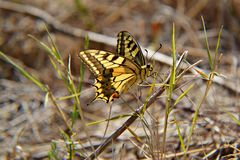 Gul fjäril i gräset Arkivfoton
