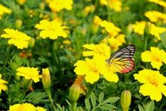 Gul fjäril med den gula blomman arkivbild