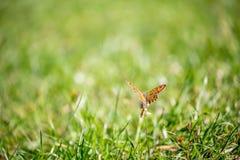 Gul fjäril på blomman i grönt höstfält Arkivbilder