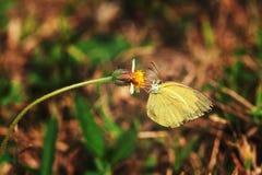 Gul fjäril på den mycket lilla blomman Royaltyfri Foto