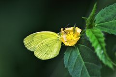 Gul fjäril på en gul ängblomma Arkivfoto