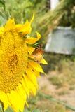 Gul fjäril på en blommasolros Arkivbild