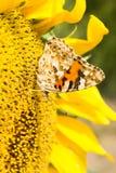Gul fjäril på en blommasolros Royaltyfri Foto