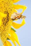 Gul fjäril på en blommasolros Royaltyfria Bilder