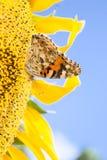 Gul fjäril på en blommasolros Royaltyfri Fotografi