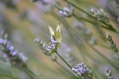 Gul fjäril på lavendel Arkivbild