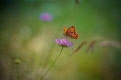 Gul fjäril på lilablomman - monark arkivbilder