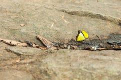 Gul fjäril på stenen arkivfoto