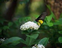Gul fjäril på whtieblomma och grön tree l Arkivfoton
