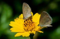 Gul fjäril som matar på en blomma med dess jämlike Arkivfoton