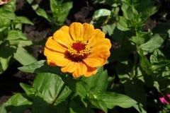 Gul flowerhead för bärnsten av Zinniaelegans Arkivbild