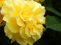 Gul fluffig blomma Arkivfoton