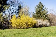 Gul forsythia blommar i en vår parkerar Royaltyfria Bilder