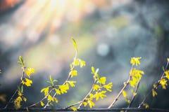 Gul forsythia blomstrar på suddig bakgrund med bokeh och solsken f?r blomninggreen f?r filial ljus tree f?r fj?der f?r natur Blom arkivfoton