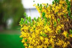 Gul forsythia buske och gräsplangrässlätt i vårsäsong Royaltyfri Foto