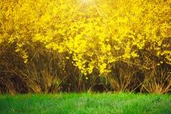 Gul forsythia buske och gräsplangrässlätt i vårsäsong Royaltyfri Bild
