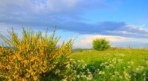 Gul forsythia buske och gräsplangrässlätt i vårsäsong Royaltyfria Foton