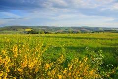 Gul forsythia buske och gräsplangrässlätt i vårsäsong Arkivbild